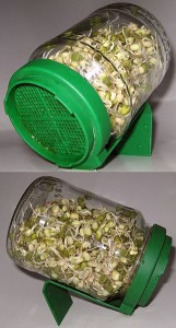 sprouting mung beans in a jar