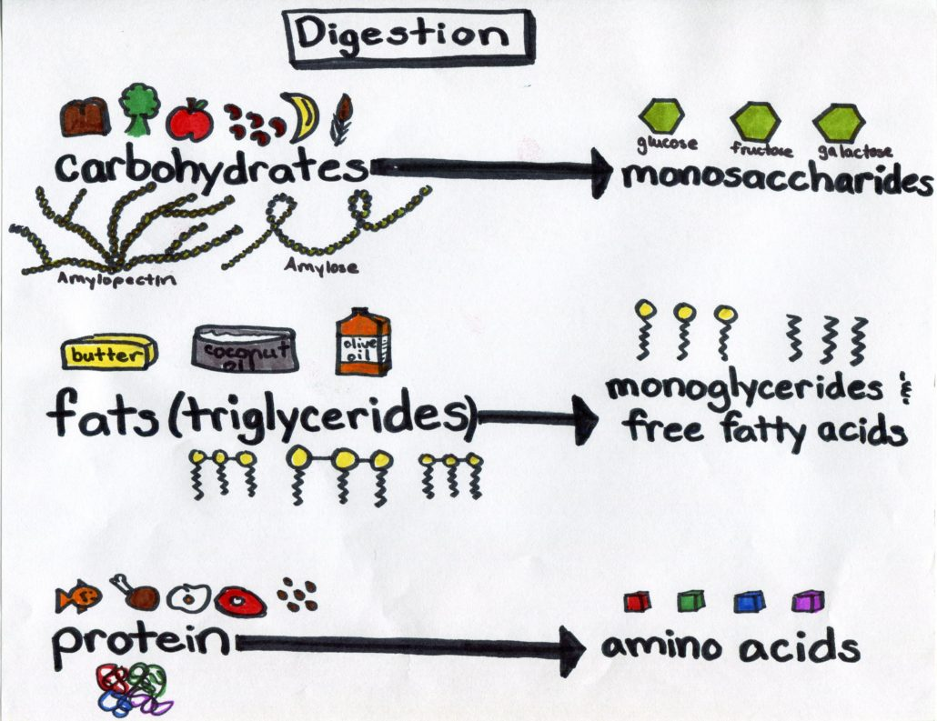 Carbohydrates, Fats, Proteins, and the Smallest Molecules They are Broken Down Into